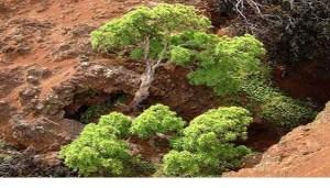 Dendroseris neriifolia