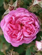 rosa-centifolia-4