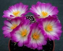 1159087174mammillaria-luethyi2