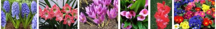 Bulbos floración