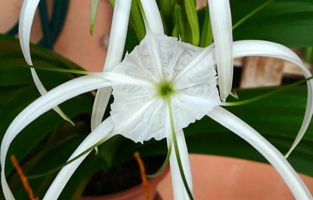 El Lirio Araña: «Hymenocallis littoralis»