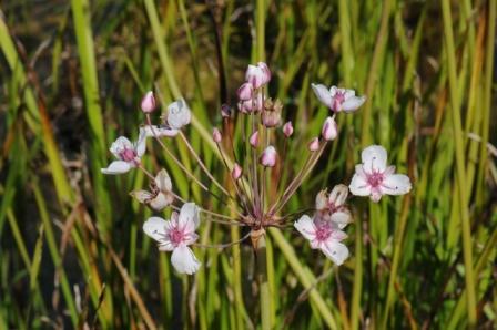 Junco Florido: Butomus umbellatus