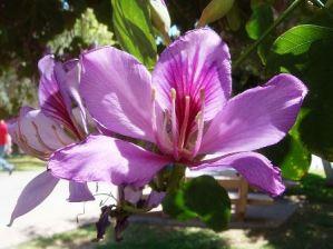 Bauhinia variegata: Árbol de Pata de Vaca 2
