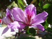 Flor Bauhinia-variegata