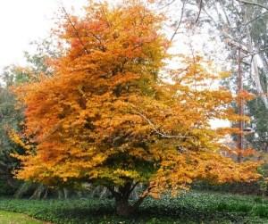 Parrotia pérsica: El árbol de hierro 1