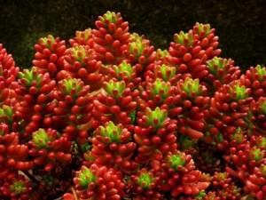 Hojas sedo rojo