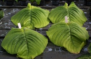 Streptocarpus o estreptocarpo 4