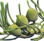 araucaria_frutos