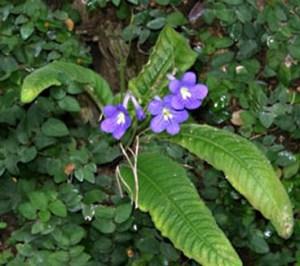 Streptocarpus o estreptocarpo 1