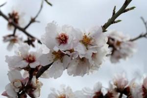 Marzo: almendros en flor 2