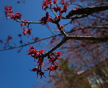 Acer Rubrum: El arce rojo americano 3