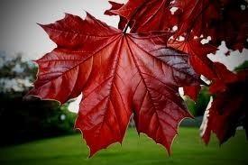 Acer Rubrum: El arce rojo americano 2