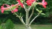 Rosa del desierto – Adenium obesum