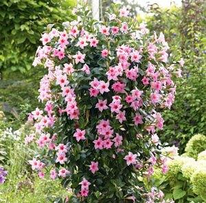 La Mandevilla, una trepadora que llenará de color tu jardín 4