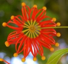 Flor de stenocarpus