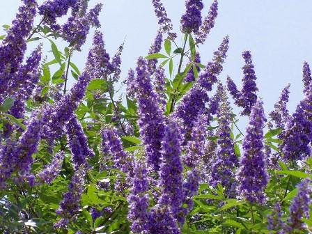 Sauzgatillo, la planta que ayuda a las mujeres
