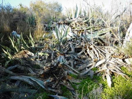 ¿Por qué se mueren las pitas en la Costa Mediterránea?