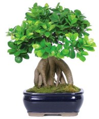 Raices Bonsai Ginseng
