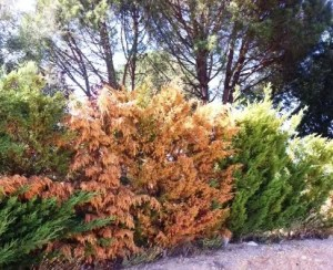 coniferas marrones