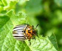 Escarabajo-de-la-patata