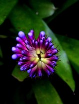 Flor-Aechmea