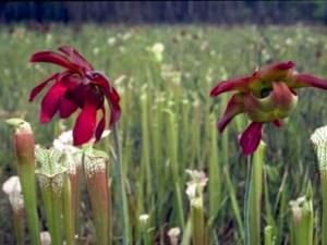 Sarracenia, la planta carnívora de terrario. 4