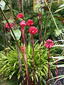 Antorcha roja planta