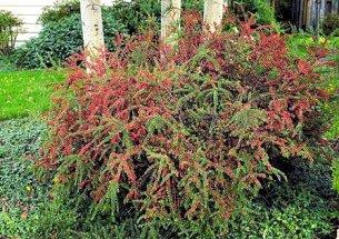 Cotoneaster arbusto