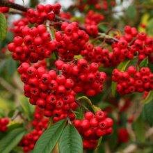 Cotoneaster fruto