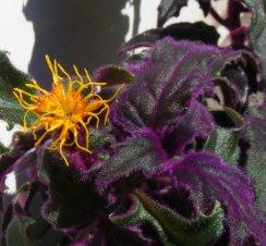 Flor de pasión púrpura