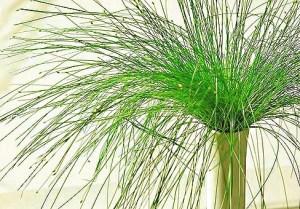 Scirpus Cernuus, la planta Punk 3