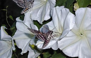 Ipomoea alba: Flor de luna o madreselva 3