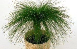 Scirpus Cernuus, la planta Punk 1