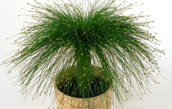 Scirpus Cernuus, la planta Punk