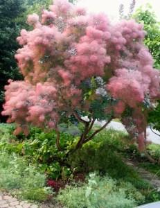 Cotinus coggygria: el árbol de las pelucas 1