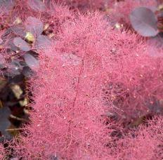 Flor del Cotinus Coggygria