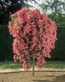 Rosal llorón rosa