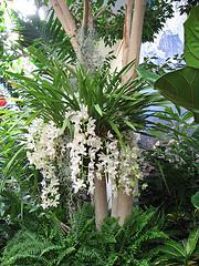 La orquídea Cascada de Hielo o Sara Jean