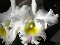 Flor-pastoral-innocence