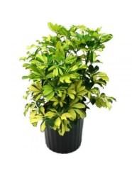 19-Schefflera Arboricola Trinette-600x800