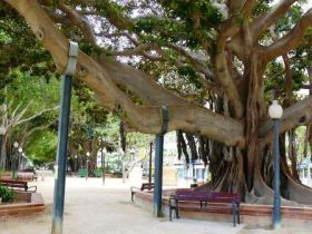 Ficus paseo canalejas