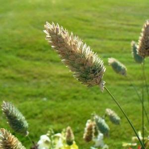 Alpiste: Phalaris canariensis 2