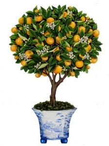 Calamondín: Naranjo miniatura 2