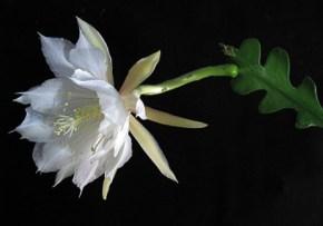 epiphyllum_anguliger1emma_lindahl