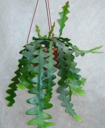 Epiphyllum anguliger: Cactus Ric Rac