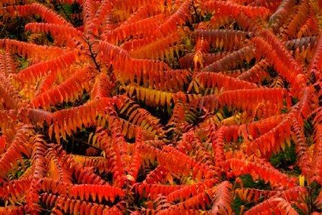 Rhus Thypina: belleza de otoño