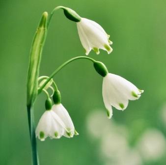 Galanthus: la campalilla de invierno