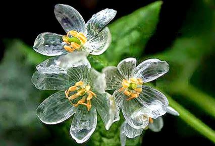 Grayi Diphylleia: la flor de cristal