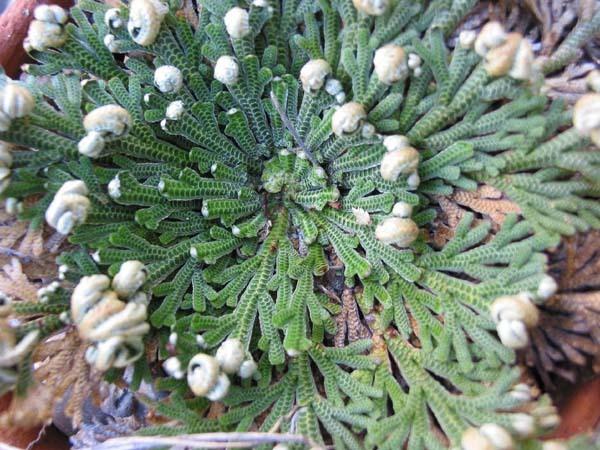 selaginella-lepidophylla