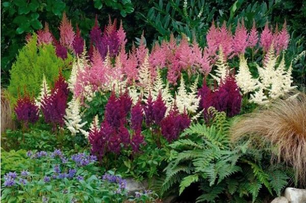 Astilbe, una planta plumosa muy decorativa